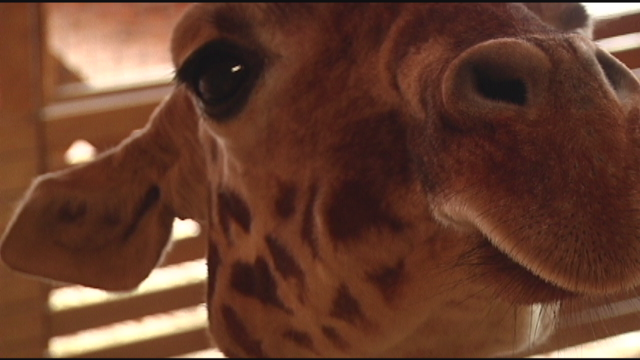 BABY WATCH: April the giraffe, what you need to know