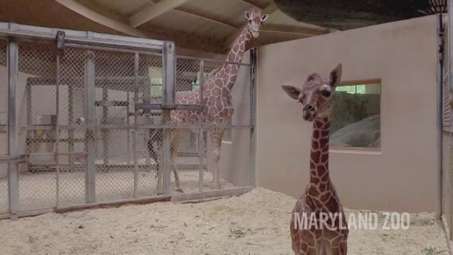 Baby giraffe dies at Maryland zoo