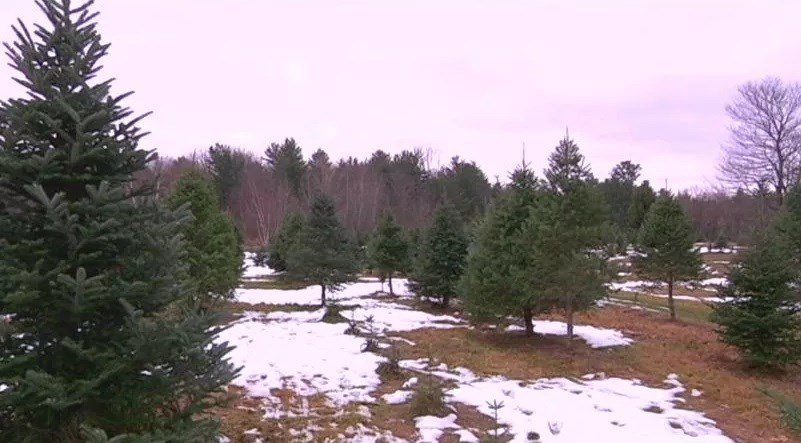 Christmas tree prices up amid shortage this holiday season