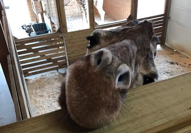 april the giraffe news