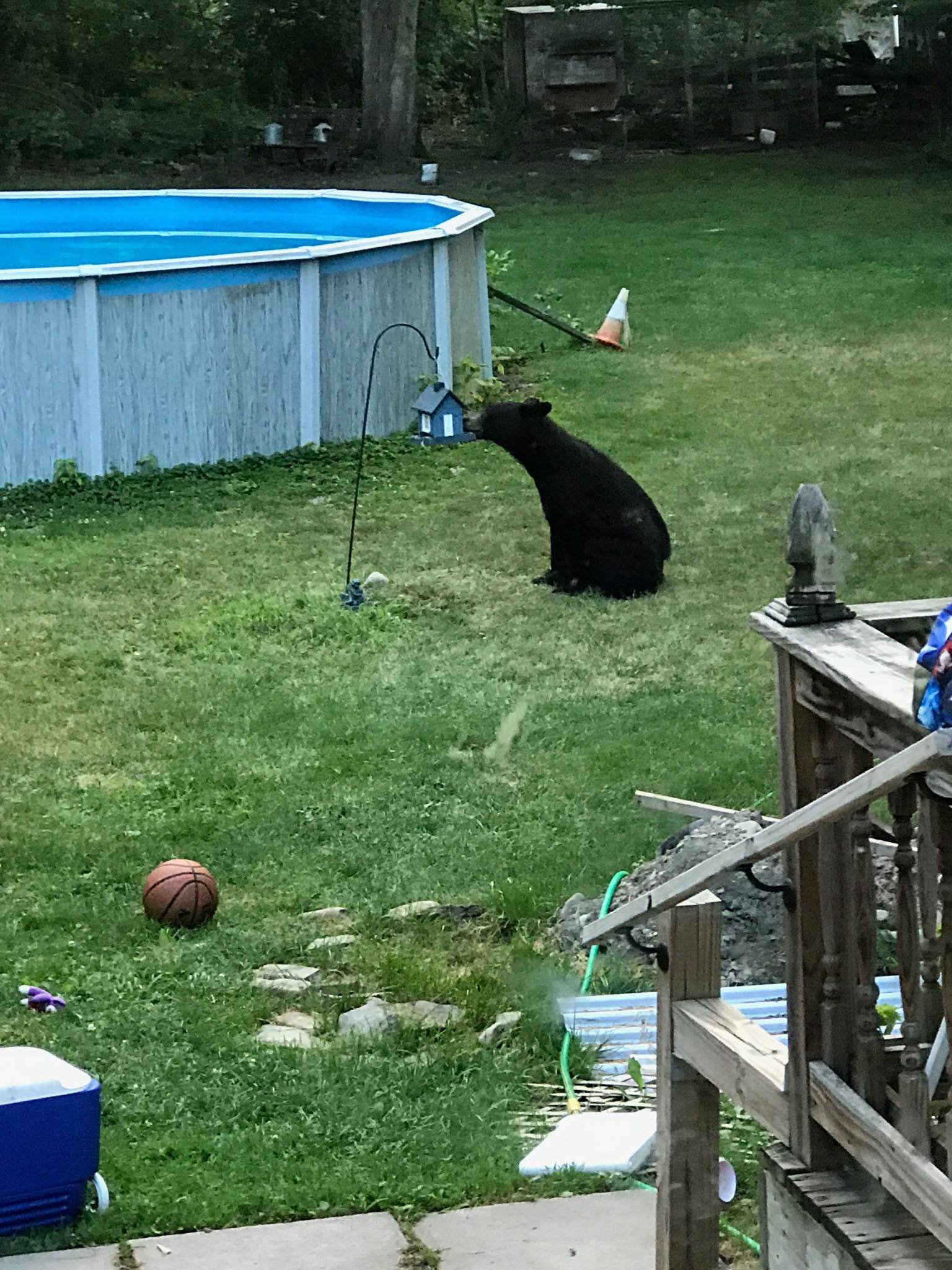 spotted black bear stealing snack in candor wbng com